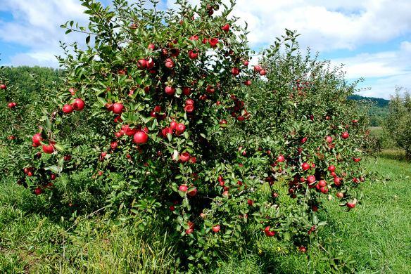 DBB Blog apple tree